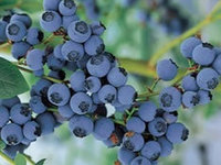 Blueberry Precoce 4ετών